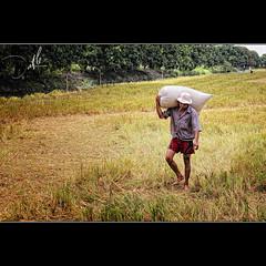 Ngày mùa (Đạt Lê) Tags: 35mm nikon photographer farm vietnam xv f18 d300 lúa cầnthơ đạtlê datphat xehoivietnam datphat82 nôngtrườngsônghậu