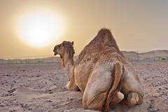 Basking Camel (Jim Boud) Tags: camera travel sunset sky sun canon landscape eos desert uae middleeast camel abudhabi arabian dslr digitalrebel photoart digitalslr unitedarabemirates sanddunes xsi lightroom artisticphotography bigsun eos450d jimboud alkhatim kissx2 jamesboud alkhatem