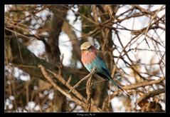 The Feathered Pouter (Grievous247) Tags: africa tree cute bird nature funny kenya wildlife sony beak feathers safari mara roller masaimara lilacbreastedroller a700 sonyalpha wildlifesunsafaris