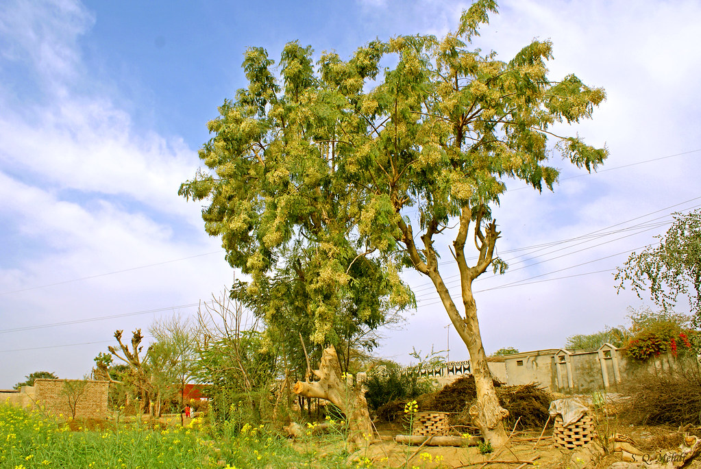 the feasibility of malunggay leaves moringaoleifera This research study entitled the feasibiltity of malunggay (moringa oleifera) leaves as cleaning entitled the feasibility of malunggay leaves as.