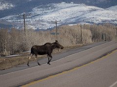 Why did the moose cross the road? (madpoet_one) Tags: moose wyoming cowmoose uintacounty mirrorlakescenicbyway may2011 northamericanmoose photoaday2011 plurkpad2011 wyomingstatehighway150