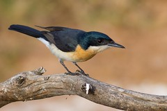 Restless Flycatcher (petefeats) Tags: nature birds australia queensland australianbirds passeriformes restlessflycatcher bowra myiagrainquieta monarchidae