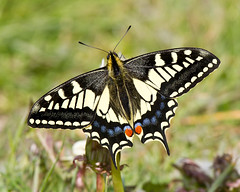 Swallowtail Butterfly (Andrew Haynes Wildlife Images ( away for a while )) Tags: nature butterfly insect wildlife swallowtail rspb strumpshawfen ajh2008
