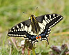 Swallowtail Butterfly (Andrew Haynes Wildlife Images) Tags: nature butterfly insect wildlife swallowtail rspb strumpshawfen ajh2008