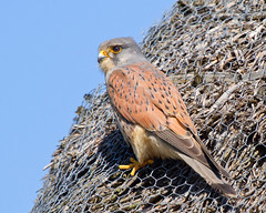Kestrel (Andrew H Wildlife Images) Tags: male bird nature wildlife norfolk nwt kestrel cleymarsh canon7d ajh2008