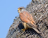 Kestrel (Andrew Haynes Wildlife Images) Tags: male bird nature wildlife norfolk nwt kestrel cleymarsh canon7d ajh2008