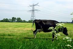Groene stroom (++Rob++) Tags: green netherlands groen cows nederland koeien assendelft nederlandvandaag