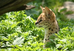 The Hiding Serval (i need my blankie) Tags: cat spots behind serval steinhardtgardens storybookwinner