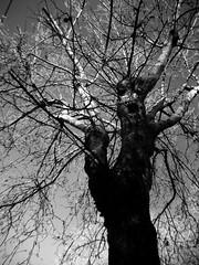 Screaming tree (*ameLIE*) Tags: sky bw white black tree strange face scary funny ghost cielo amelie soul screaming anima albero inverno bianco nero fantasma viso rami strano scuro inquietante tetro spirito spiriti animato faccestrane