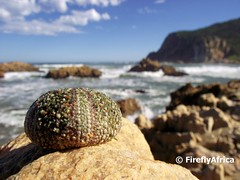Urchin at Knysna Heads (FireflyAfrica) Tags: southafrica shell heads urchin gardenroute knysna westerncape fireflyafrica jonkerfourie