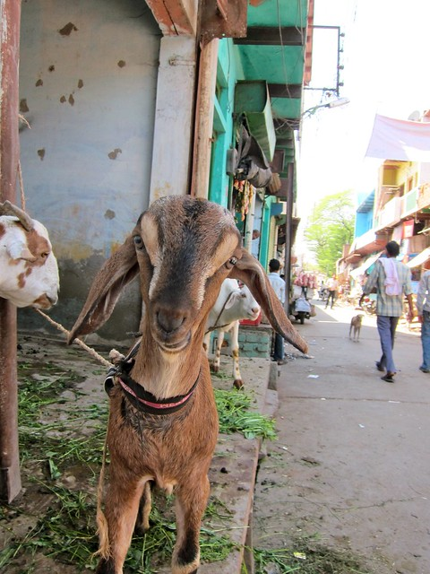 Happy Goat