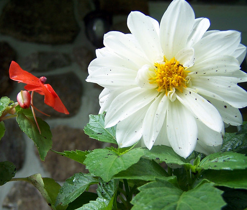 White Dahlia after the rain
