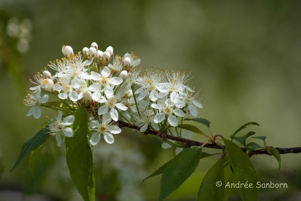Chokecherry Blossoms-3.jpg