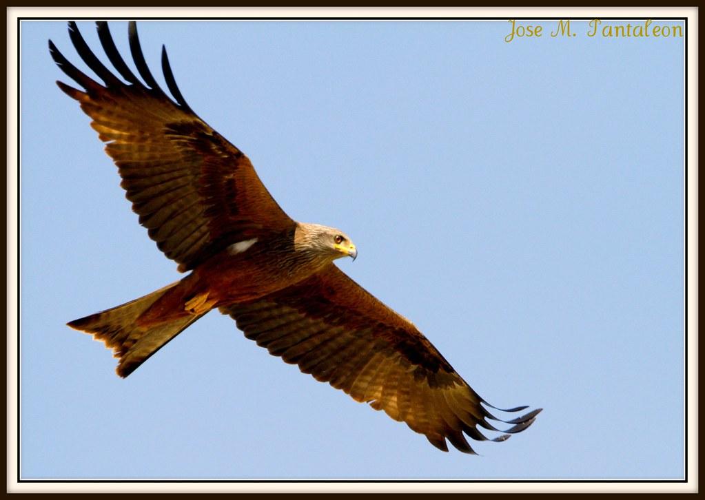 1-Un milano negro para mi amigo HUASCAR PEREZ antes de irme!!Volar, volar y volar!! Quien no quisiera tener alas para volar como un milano!Me voy confiado en que las aves americanas sean tontas y solo
