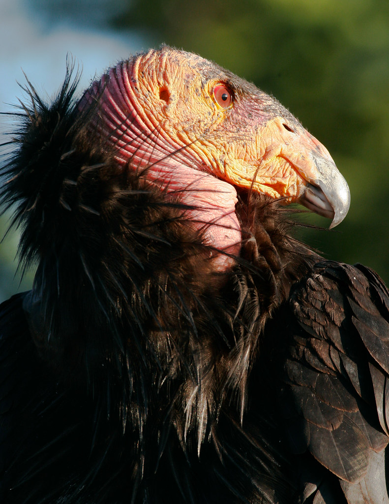 California Condor-4.JPG