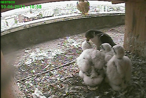 Day 23, Dad is feeding the young while Mum watches
