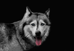 Wuff (Halsemann.) Tags: dog animal hund tier hals huskie halsemann