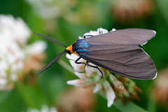 Virginia Ctenucha (james lj) Tags: ctenuchavirginica virginiactenucha