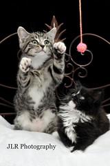 White Kitty's: 1. (STUDIO 36) Tags: cats playing cat kitten kitty kittens kitties playful