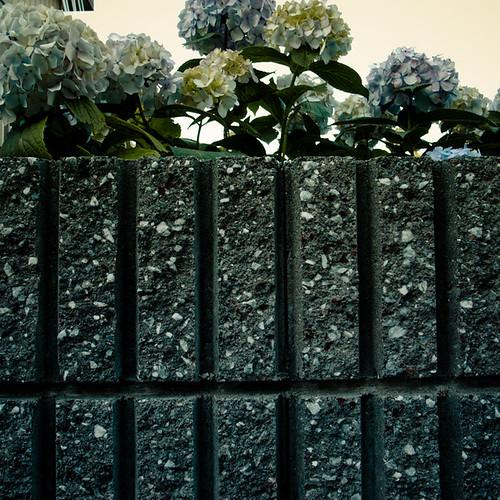 Peeking Hydrangea