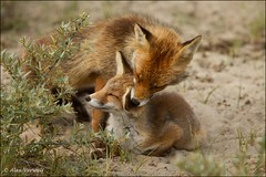"""Cleaning"" ... (Alex Verweij) Tags: holland netherlands canon cleaning fox 7d caring awd vos takingcare vulpes alexverweij"