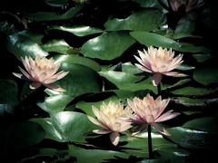 Water lily (ddsnet) Tags: plant flower waterlily sony taiwan cybershot aquatic   taoyuan aquaticplants        lily water  tetragona water   lily nymphaeatetragona    nymphaea plants mygearandme   hx100v aquatic nymphaea tetragona plantsnymphaea tetragona