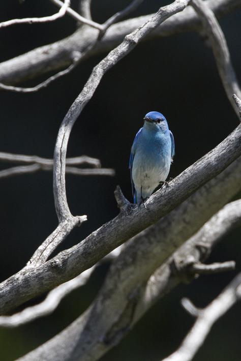 061611_MountainBluebird01