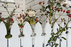 White on white (Home Land & Sea) Tags: winter newzealand roses white fence wooden nz napier rosehips pointshoot sonycybershot picket hawkesbay hff dsch3 fencedfriday homelandsea