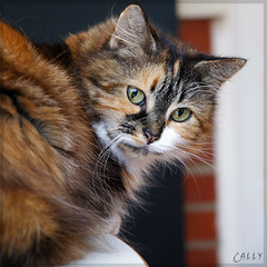 Cally (Explored) (hehaden) Tags: white animal cat square table sitting kitty tortoiseshell tortie longhaired