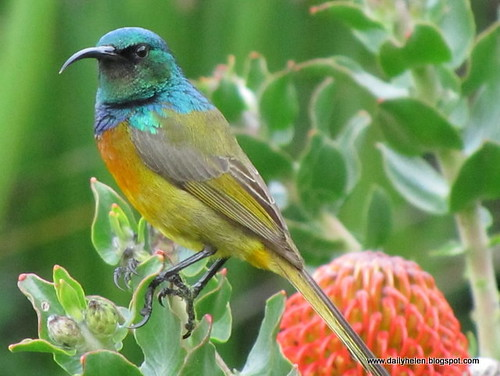 dailyhelen_sunbird by dailyhelen