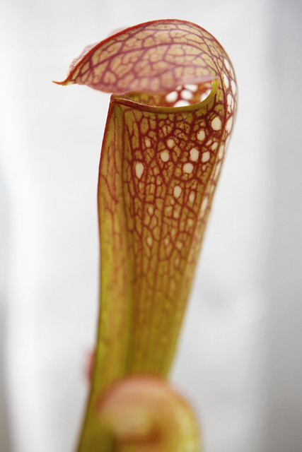 Sarracenia minor var. okefenokeensis x 'Golden Red Jubilee'