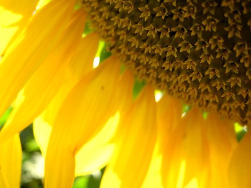Sunflower Close Up by Danalynn C