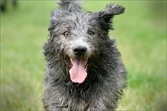 Bunny (Pfotenblitzer) Tags: irish chien pet dogs animal tongue flying funny outdoor sony ears running glen perro terrier lustig haustier hunde tier zunge ohren rennend fliegende imaal laufend alpha700