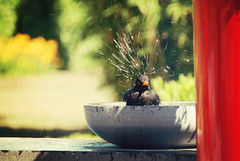 existentialism means that no one else can take a bath for you (-justk-) Tags: bird garden bath explore turdusmerula commonblackbird