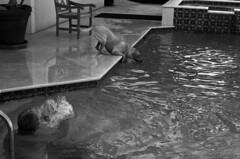 Old Lens # 22 (PositiveAboutNegatives) Tags: leica blackandwhite bw dog film pool 50mm lab labrador yellowlab play kodak rangefinder summicron r coolscan retrieve type3 m7 primelens nikonscanner 50mmsummicron 11817 400tmx