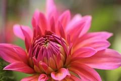 Rhapsodic Bloom (amarilloladi) Tags: victoriabc macroflowers macro pink orange canada butchartgardens dahlias flora flowers