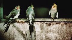 best friends (camerito) Tags: birds best friends beste freunde camerito nikon1 j4 flickr austria sterreich