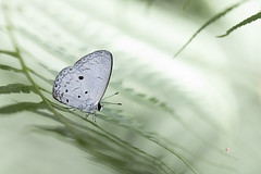 /  Callenya melaena shonen (Esaki, 1932) (Sam's Photography Life) Tags: marco nature butterfly canon 100mm 1dx