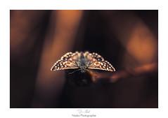 Chasseur de nuit (Naska Photographie) Tags: naska p photographie photo photographe paysage proxy proxyphoto papillon butterfly butterflie insectes volant extrieur bokeh color couleur nuit creative macro macrophotographie macrophoto night