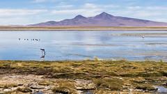 Salar de Tara (Caio AMC) Tags: chile atacama deserto desierto desert southamerica landscape paisagem paisaje flamingo nature natureza naturaleza bird passaro