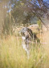 Luna (kecotting) Tags: dog mutt rescuedog grass nature outdoors walk sunshine fall autumn colorado canon animal pet