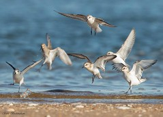 Sandlerings (sbuckinghamnj) Tags: shorebird sanderling flight sandyhook newjersey gatewaynationalrecreationarea