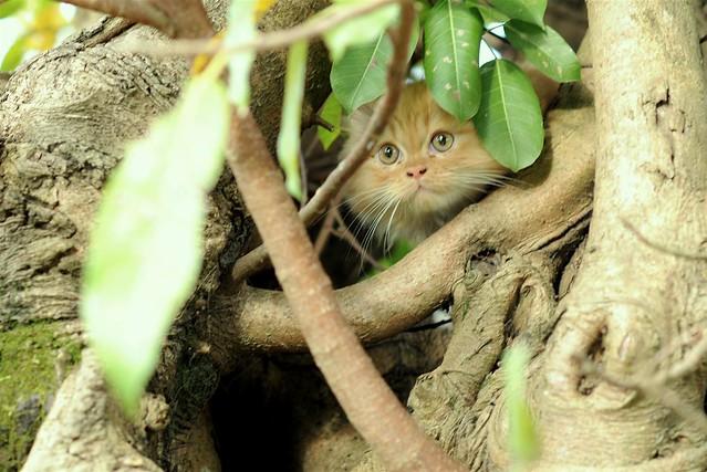 Mèo ú