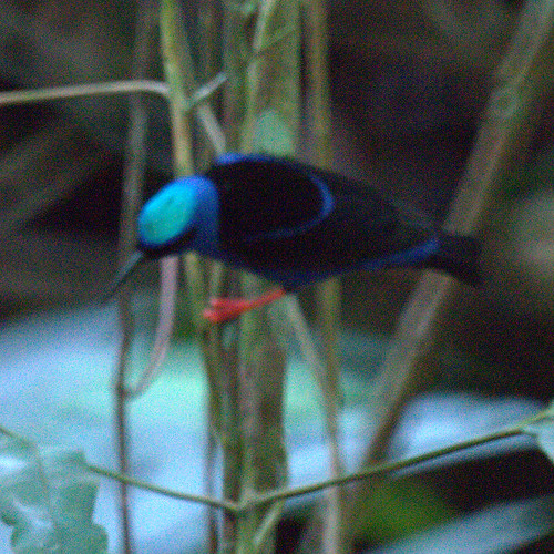 Red Legged Honeycreeper (male)