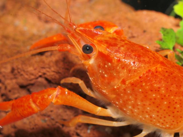 P3235019 橘螯蝦