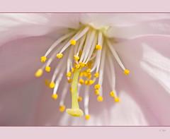 Details..... (Seahorse-Cologne) Tags: detalle detail macro nature closeup petals flora natur natuur blumen makro nahaufnahme flore blten dtail detaljer ptalos ptales bloemblaadjes kronblad