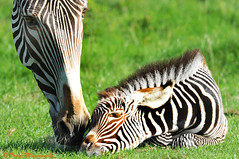 I Love You! (Tony Margiocchi (Snapperz)) Tags: baby love westminster chelsea close stripes small young mother bedfordshire together newborn zebra iloveyou caring ward care oooh whipsnade whipsnadezoo aaah foals motherlylove motherly grevy grevyszebra tonymargiocchi zslwhipsnade hospitalchelsea