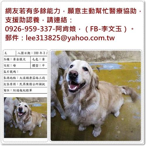 「支援助認養」桃園新屋收容所救出黃金獵犬小姐~需要醫療資源,也徵助認養喔~謝謝您!20110331