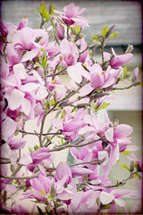 Pink Magnolia brings colour to the city. (Tuppence 2009) Tags: pink flowers flower tree texture spring explore magnolia textured 97 tatot darkwood67 mygearandme mygearandmepremium 111picturesin2011