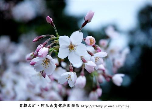 阿里山賓館前櫻花